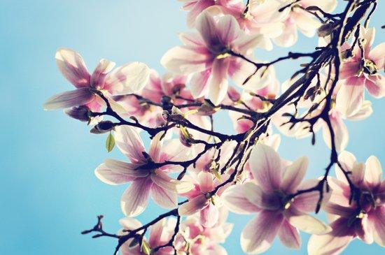 May Magnolias  Art Print