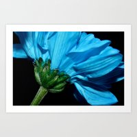 Blue Chrysanthemum  Art Print