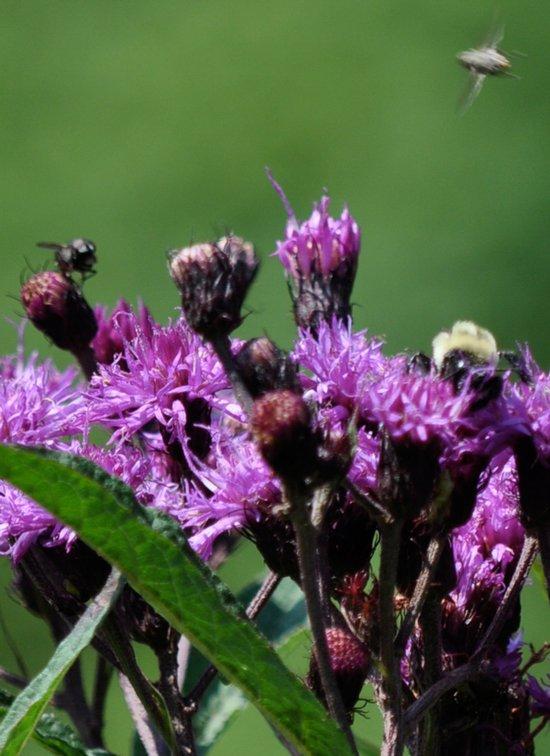 Violet Flowers Bee Photo Photograph 1  Art Print