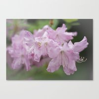 rododendron blossoms Canvas Print