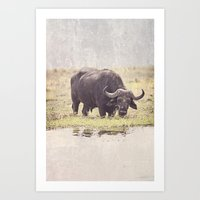 Buffalo From Botswana Art Print