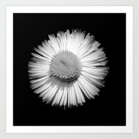 Fleabane B and W Art Print