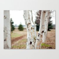 Line of Birches Canvas Print