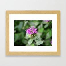Monarda - Bee Balm Framed Art Print