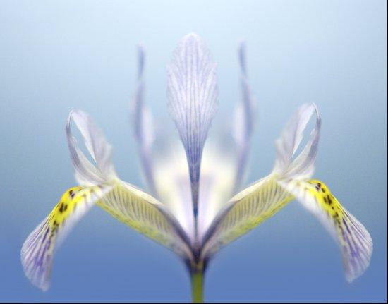 Ground Iris Art Print