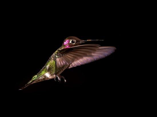 Anna's hummingbird Art Print