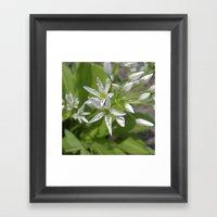 Bear´s Garlic Bloom II Framed Art Print