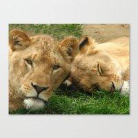 Asian Lions (Panthera Le… Canvas Print