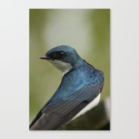 Tree Swallow - Ottawa, ON Canvas Print