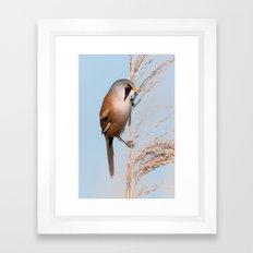 Bearded Tit Framed Art Print