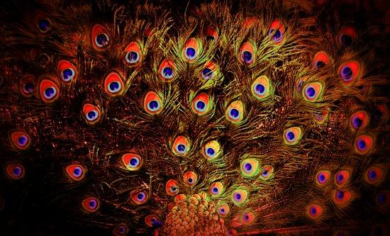fiery feathers Art Print