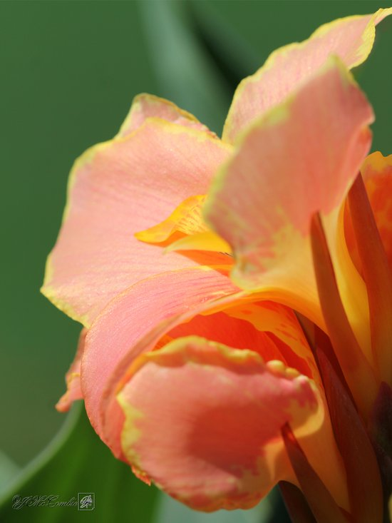 Dwarf Canna Lily named Corsica Art Print