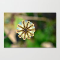 Poppy seed pod. Canvas Print