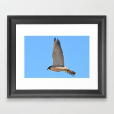 Peregrine Falcon Close Up 2 Framed Art Print