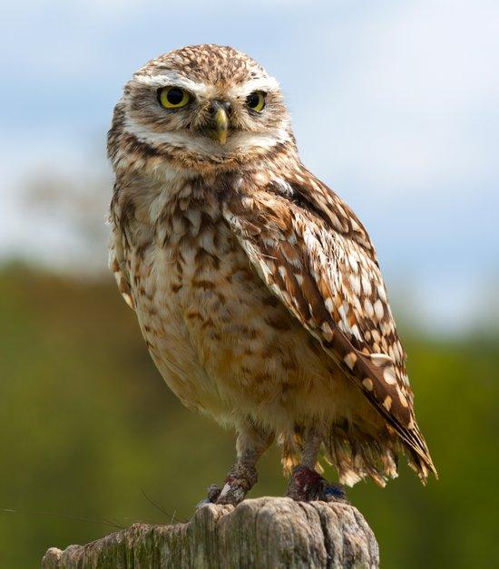 The Burrowing Owl Art Print