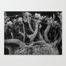 Cypress Tree Canvas Print