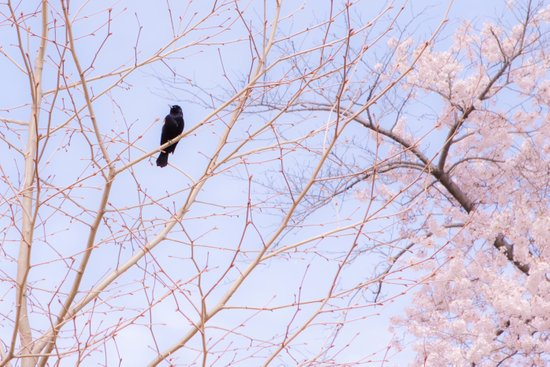 Red-winged Blackbird Pink Branches Art Print