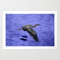 Great blue heron in fly Art Print
