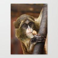 Young Debrazza's Monkey  Canvas Print