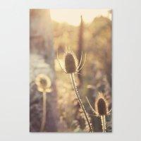 Sunlit Thistle Canvas Print