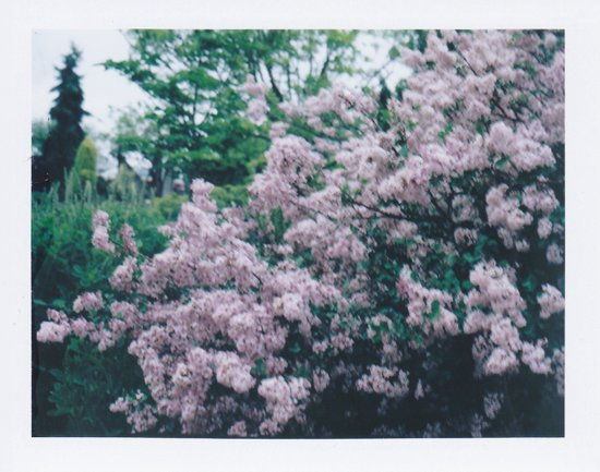 Korean Lilac Polaroid Art Print