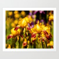 Bearded Irises Art Print