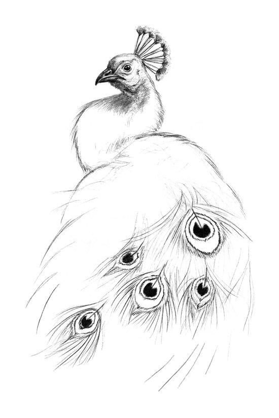 Peacock  SK097 Art Print