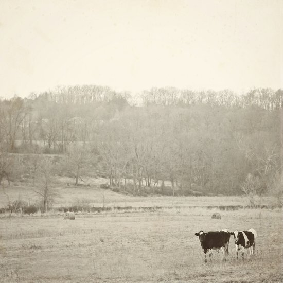 How now two cows  Art Print