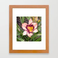 Pink Daylily Growing In … Framed Art Print