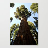 General Sherman Trunk to Treetop Canvas Print