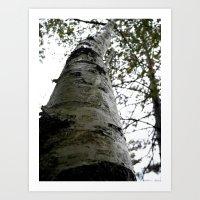 Up the Birch tree Art Print