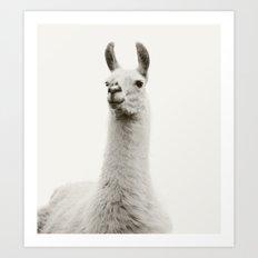 White Llama Photograph Art Print