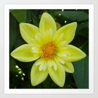 Yellow Tufted Dahlia Art Print