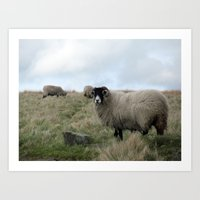 Yorkshire Dalesbred Sheep Art Print