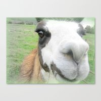 Friendly alpaca Canvas Print