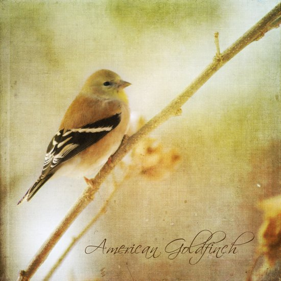 American Gold Finch Art Print