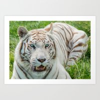THE BEAUTY OF WHITE TIGERS Art Print