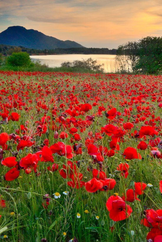 Field of poppies in the lake Art Print