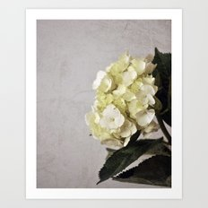 Baby Hydrangeas and Grey Art Print