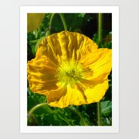 Golden Poppy Art Print