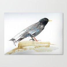 Australian Starling Canvas Print