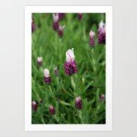 Wild Lavender 1015 Art Print