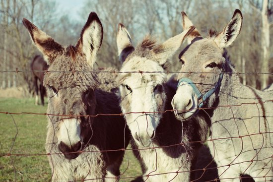 three donkeys Art Print
