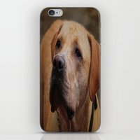 Golden Labrador iPhone & iPod Skin