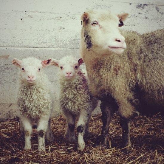 Sheep #1 Canvas Print