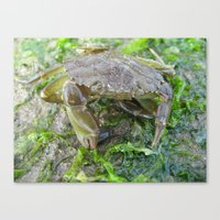 Crab and seaweed on the beach Canvas Print