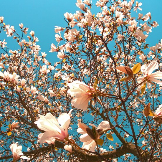 magnolia tree II Art Print