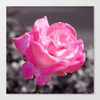 Single Pink Rose Canvas Print