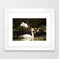 Swans and Cygnets Framed Art Print