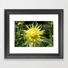 Yellow Dahlia close up Framed Art Print